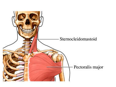 Superficial Muscles of the Shoulder: Anterior