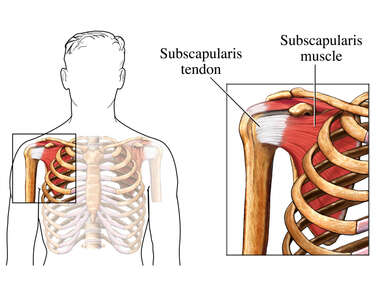 The Subscapularis Muscle and Tendon