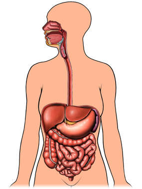 Anatomy of the Digestive System Organs
