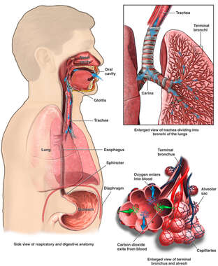 Anatomy and Function of the Respiratory System