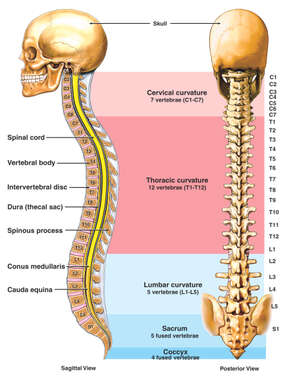 Anatomy of the Vertebral Column (Spine)