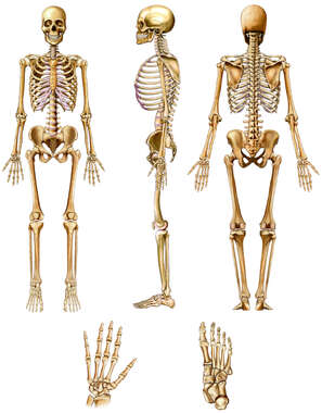 Search lower back skeleton anatomy of the skeletal system ccuart Gallery