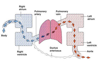 Pulmonary Artery, Vein and Oxygenation in Lungs