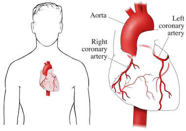 The Coronary Arteries
