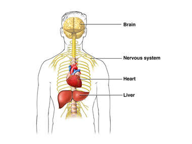 Organs that can be Damaged by Alcoholism