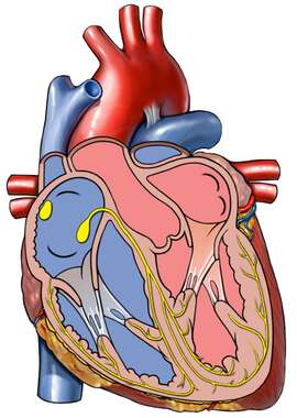 Cut-away View of the Heart with Conduction System