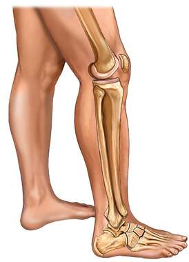 Bones of the Leg, Knee, and Foot with Skin: Lateral View