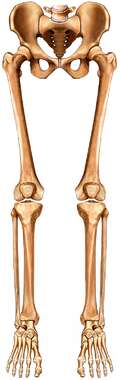 Skeleton: Lower Extremtiy