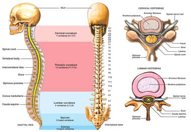 Anatomy of the Vertebral Column with Typical Cervical and Lumbar Vertebrae