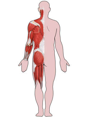 Male Figure with Musculature: Posterior View