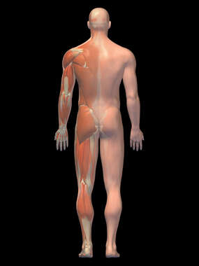 Anatomy of the Muscular System, 3D Posterior Male-BW