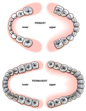 Comparison of Primary (Baby) and Permanent Teeth