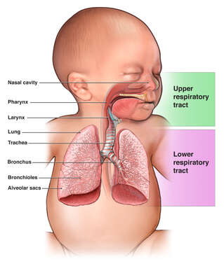 Respiratory Tract of the Infant