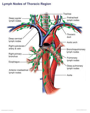 Lymph Nodes of the Thoracic Region
