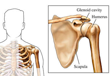 Bones of the Shoulder Joint