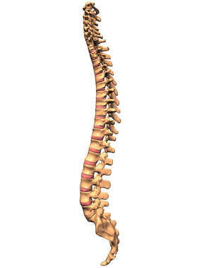 Spinal Column, Lateral View