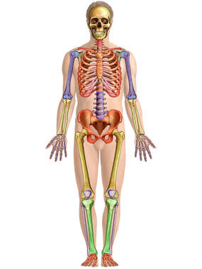 Figure with Colorized Bones of the Skeleton