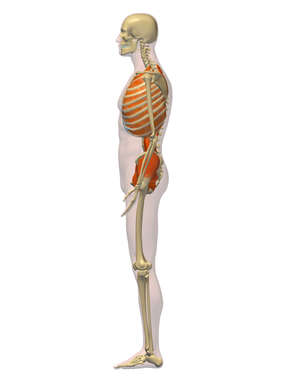 Lateral Male Muscular System (Deep Muscles) - 3D