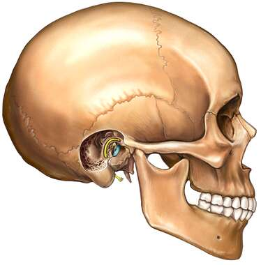 Skull with Middle Ear Cut-away, Lateral View