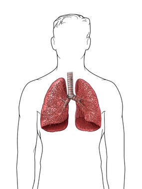 Lungs- Full Bronchioles