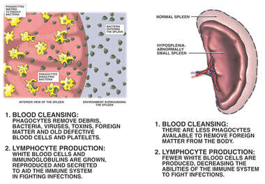 Physiology of the Spleen and The Dangers of Hyposplenia