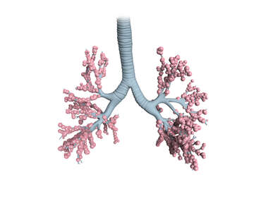 Alveoli of the Lungs