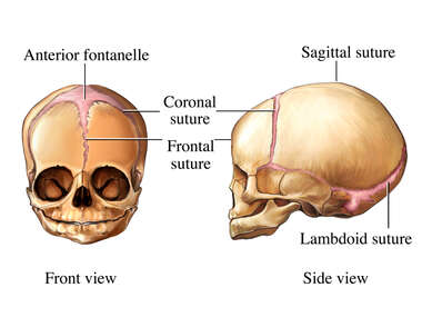 Sutures of Fetal Skull