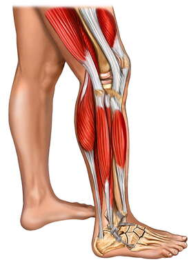 Muscles of the Leg, Knee, and Foot with Skin: Lateral View