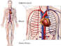 Circulatory System Diagram