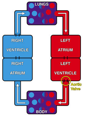 Schematic of Blood Circulation