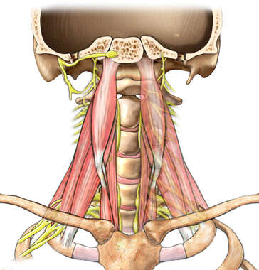 Deep Musculature of the Neck