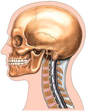 Anatomy of the Skull and Cervical Spine