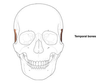 Temporal Bones of the Skull