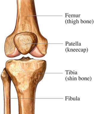 Anterior View of the Knee