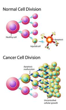 Normal versus Cancer Cell Division