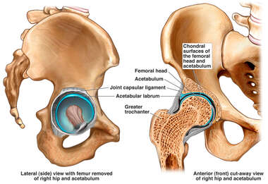 Anatomy of the Hip and Acetabular Labrum