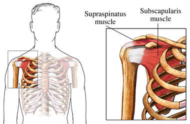 Muscles of the Rotator Cuff: Anterior (Front) View