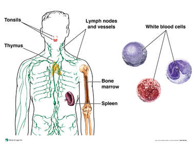 Components of the Immune System