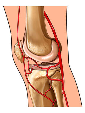 Knee with Arteries: Lateral View