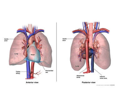 Anatomy of the Heart, Lungs and Great Vessels
