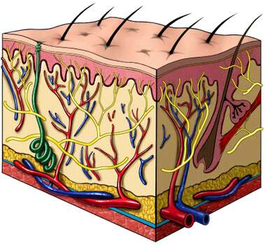 Cut-section of Skin