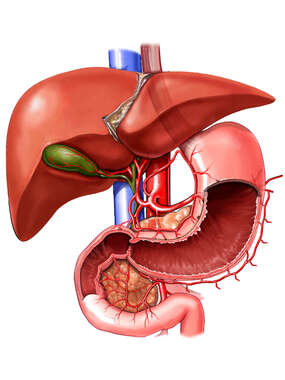 Anatomy of the Liver, Gallbladder, and Stomach