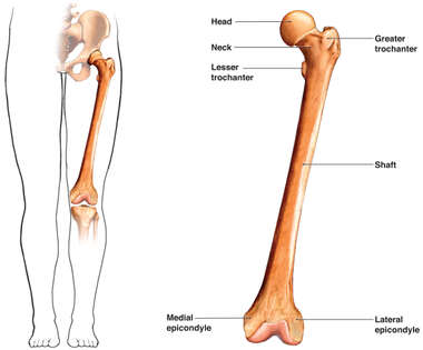 Femur (thigh bone)