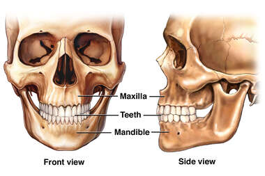 Anatomy of the Teeth and Jaw