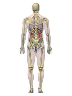 Anatomy of the Digestive, Respiratory,  Urogenital and  Skeletal Systems, 3D Posterior Male