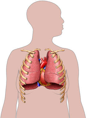 Lungs, Heart and Ribs, Anterior View