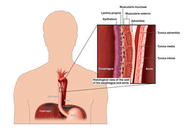 Anatomy of the Esophagus and Aorta