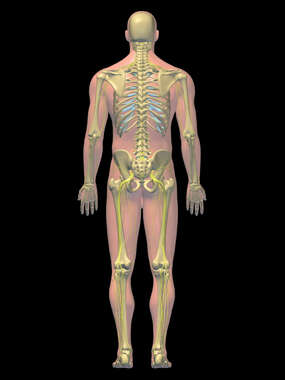 Anatomy of the Skeletal and Nervous Systems, 3D Posterior Male-BW