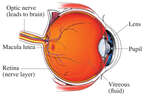 Anatomy of the Eye - Cut-away View