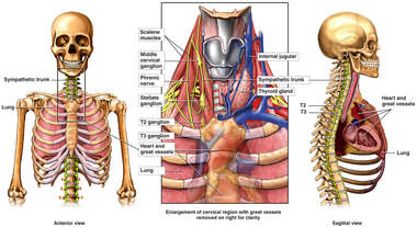Anatomy of the Cervical and Thoracic Sympathetic Chain